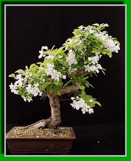 index of bilder jpg bonsai. Black Bedroom Furniture Sets. Home Design Ideas